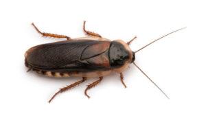 Karaczan wschodni (karaluch)