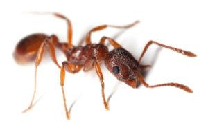 Mrówka faraona