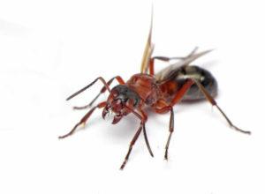 Mrówka pospolita