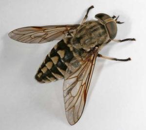 Mucha jesienna (bolimuszka kleparka)