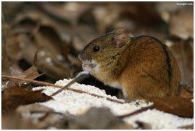 myszy1