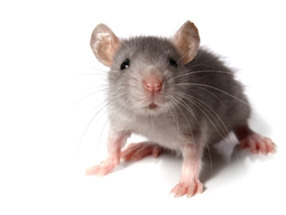 myszy2