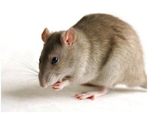 szczury1