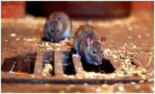 szczury2