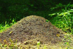 likwidacia mrówek, mrowisko