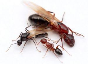 usuwanie mrówek